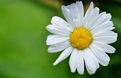 daisy-flowers-meadow-summer-meadow-68196