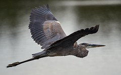 Aug 31 201610979 (Lake Worth) Tags: animal animals bird birdwatcher birds canonef500mmf4lisiiusm canoneos1dxmarkii everglades feathers florida nature outdoor southflorida waterbirds wetlands wildlife wing