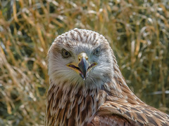 Smile please (davidrhall1234) Tags: carewcastle carew redkite raptor portrait pembrokeshire pembrokeshirefalconry placestowatchwildlife photos birds bird birdsofbritain birdsofprey nature nikond7100 nikon wildlife world falconry flight feather