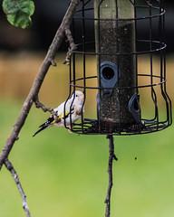 Albino Goldfinch 14082016-1.jpg (SilverbackGriff) Tags: 10x8 nikond4 wildlife yorkshire topaz leeds topazdenoise flickr westyorkshire