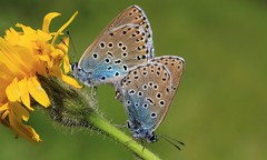 Large Blues mating - Daneway WT reserve Gloucs - 270616 (46) (ailognom2005-Catching up slowly.) Tags: maculineaarion largeblue butterflies butterfliesmothsandcaterpillars gloucestershire insects macro mating danewaywtreserve wildlifereserves reserve naturereserves naturalhistory