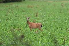 Whitetail Deer_1403 (Porch Dog) Tags: garywhittington nikond750 fx nikon200500mm slough august rain summer wildlife nature deer whitetail doe animal field