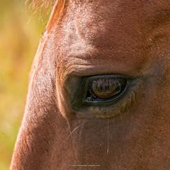 Hesteje, Hemstok 2016 (Appaz Photography ) Tags: animals appazphotography denmark dyr hemstok hest heste hesteje horse horses jylland mammals pattedyr skanderborg
