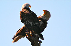 Mating Pair/Bald Eagles (Haliaeetus Leucocephalus) (Alex Parr Photography) Tags: haliaeetus america bald ddt eagles insecticide leucocephalus mating north pair