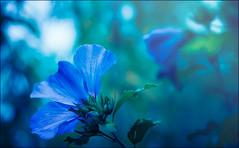 Hibiskus (HikerandBiker) Tags: a99 ameise ant background blau blue blumen blumenundblten bokeh durchlicht durchsicht hibiskus hintergrund licht light nikfilters outdoor slta99v sony sony2875mmf28sam sonya99 sonyalpha99 unscharf unschrfe