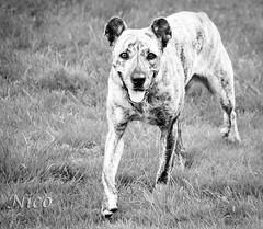 Animal Dog Cao de Fila de Sao Miguel (Azores Cattle Dog)     Acores chien de btail bw (Nicole Nicky) Tags: animal dog caodefiladesaomiguel azorescattledog chien pet blackandwhite monochrome gray outdoor dehors nature acoreschiendebtail