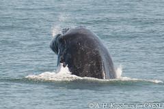 UNK.MN.CRESLI.2016-08-28-03 (ah_kopelman) Tags: unkmncresli2016082803 cresli megapteranovaeangliae montaukny montaukwhalewatch2016 vikingfleet humpbackwhale exif:isospeed=400 geocountry exif:make=nikoncorporation geocity geostate geolocation exif:focallength=400mm geo:lon=71892305 exif:model=nikond600 geo:lat=4101429 exif:aperture=ƒ56 camera:model=nikond600 camera:make=nikoncorporation