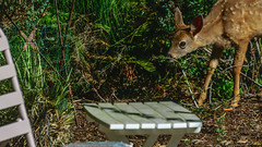 DSC_0396.jpg (jthenri) Tags: washington fawn babydeer lawnfurniture cute younganimal