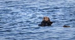 Sea Otter- Kodiak, Alaska (rishaisomphotography) Tags: seamammal mammal seaotter ocean water blue furry fuzzy nature wildlife wild wildlifephotography naturephotographer kodiak alaska galleygourmet dinnercruise enhydralutris angryeyes grumpy