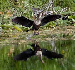 Aug 31 201610973 (Lake Worth) Tags: animal animals bird birdwatcher birds canonef500mmf4lisiiusm canoneos1dxmarkii everglades feathers florida nature outdoor southflorida waterbirds wetlands wildlife wing