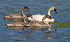 Trumpeter Swan Family (sarasonntag) Tags: trumpeter swan cygnet three horicon marsh wisconsin hwy 49 waupun family summer white