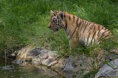Zaghaft *EXPLORED 20160908 98* (gosammy1971) Tags: amurtiger flickr zoo duisburg september 2016 dasha elroi groskatze sugetier orange black white new water baby cub