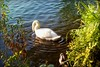 swan.circles (C.Kalk DigitaLPhotoS) Tags: schwan swan vogel bird tier animal flora fauna see lake wasser water natur nature hamburg stadtpark germany kalk ckalk christopherkalk ckalkdigital