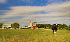 Near the Amish country (static_dynamic) Tags: pennsylvania rural landscape cow pasture farmland farm summer bovinebeauty amishcountry dutchcountry lancaster route10 outdoor peaceful