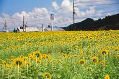 0908 #7 PROVIA100F-43260022 (tsukasa*) Tags: project365 ainikkor35mmf14s rdpiii catchycolors yellow