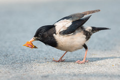 Rosy Starling (BP Chua) Tags: bird nature wildlife wild animal nikon photography telephoto feeding food singapore gardensbythebay