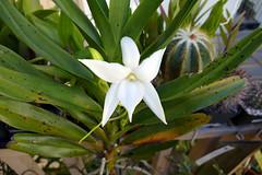Angraecum sororium species orchid (nolehace) Tags: summer nolehace flower bloom plant sanfrancisco fz1000 angraecum sororium species orchid 716 fragrant white