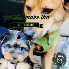 Good best friends are hard to find (itsayorkielife) Tags: yorkiememe yorkie yorkshireterrier quote