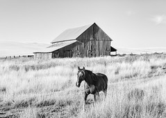 Horse Life (John Westrock) Tags: colfax washington blackandwhite horse barn farm canoneos5dmarkiii canonef2470mmf28lusm pacificnorthwest