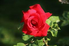 the Sundays Rose (Hugo von Schreck) Tags: hugovonschreck flower rose blume blte macro makro tamron28300mmf3563divcpzda010 canoneos5dsr onlythebestofnature