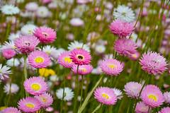 Everlastings (simone_a13) Tags: australia westernaustralia perth kingspark everlastings flower flora pink white spring wildflower nature