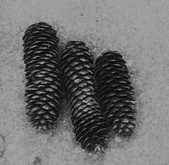 Three cones (3pebbles) Tags: cone fircone pinecone pine tree blackandwhite