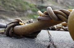Twisted (Librarianguish) Tags: 916 westbeach whidbeyisland water sun wandering thewandersociety tws kelp twisted bullkelp