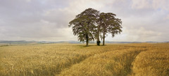 Before the cut! (Elisafox22 slowly beating the Shingles!) Tags: elisafox22 sony rx100m3 texturaltuesday barley field ripening ripe trees treemendoustuesday landscape sky gold fieldsofgold sting texture textured texturing postprocessing elisaliddell©2016 daarklands