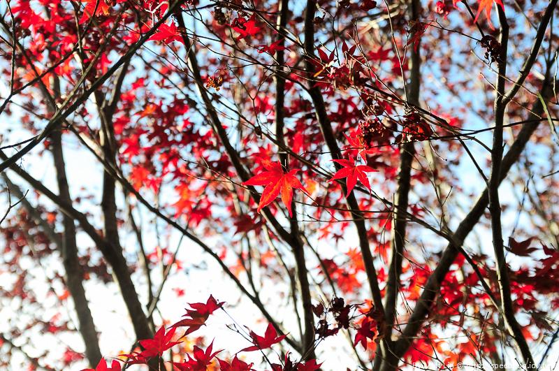 福壽山農場楓紅-20