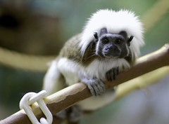 Cotton-headed Tamarin (Saguinus oedipus)_5 (guppiecat) Tags: saguinusoedipus cottonheadedtamarin