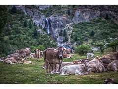 VALLE DE PINETA (pietroalge) Tags: espaa naturaleza nature cow spain huesca aragon vaca pirineos