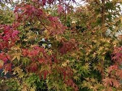 (amt40) Tags: autumn leave leaves garden maple momiji japanesemaple acer otoño 紅葉 deciduous acerpalmatum shrubs palmatum arce deciduousshrub irohamomiji イロハカエデ イロハモミジ arcejaponés