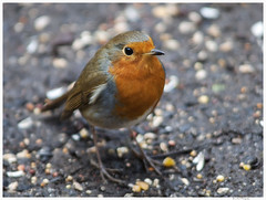 Bird 22 (Brian Gort Wildlife Photography) Tags: autumn winter nature robin moss reserve birchwood risley