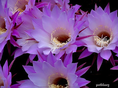 Purple pink cactus (pat.bluey) Tags: city flowers cactus moon macro day purple magic australia newsouthwales 1001nights mygarden divider youmademy amazingdetails 1001nightsmagiccity silveramazingdetails ruby10 ruby5 ruby20