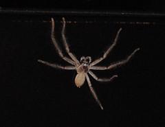 Huntsman Spider (jelliscorpio) Tags: sydney australia australianwildlife huntsmanspider