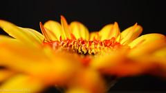 Gerbera #2 (David S Wilson) Tags: uk flowers england flower ely fens 2012 lightroom flowersplants sonynex davidswilson sonysel30mmf35macrolens adobelightroom4