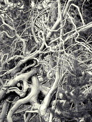 """Tangle""  DSC04602 (kluehirschSnowpine) Tags: wood blackandwhite nature closeup nationalpark branches monotone yellowstonenationalpark reality yellowstone pinetrees linear"