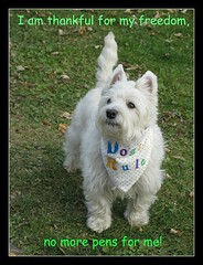 """11/12A ~ """"Thank You"""" (ellenc995) Tags: riley freedom westie thankful westhighlandwhiteterrier coth supershot akob pet100 100commentgroup coth5 naturallywonderful 5wonderwall 12monthsfordogs12 thesunshinegroup sunrays5"""