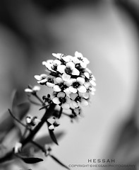 ( ) Tags: flowers white black nikon saad