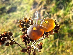 Havsglas Sverige 026 (Havsglas Sverige) Tags: sea earrings seaglass strandglas havsglas