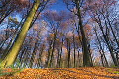 The Tall Trees (jillyspoon) Tags: above wood autumn trees leaves forest canon perspective sigma bluesky tall trunks deciduous northyorkshire sigma1020mm canon60d wideanglezoom carpetofautumnleaves