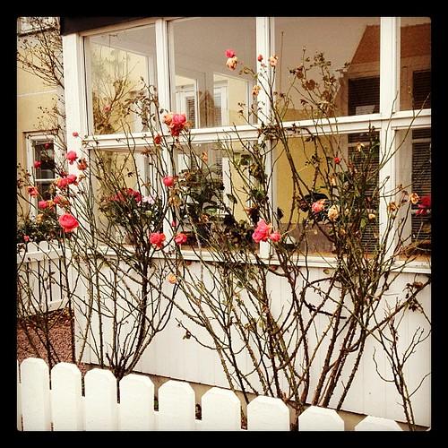 På Öland blommar fortfarande rosorna...