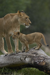Lion cub & mother (San Diego Zoo Global) Tags: animals zoo sandiego lion bigcat safariparl