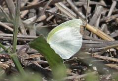 CU12_1509a (jerryoldenettel) Tags: white butterfly insect cuba sulphur 2012 pieridae eurema euremadaira barredsulphur