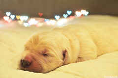 Thirth day of the rest of your life ! (.:: Maya ::.) Tags: sleeping dog baby 3 love puppy golden retriever days mayaeye mayakarkalicheva маякъркаличева
