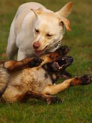 Sina und Lissi (Nurrmie) Tags: dog dogs germany deutschland hessen wiese hund wald hunde rheingau spielen hahnwald kiedrich olympuse420
