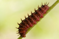 .. (BJSmit) Tags: macro spain caterpillar rups aragn bielsa