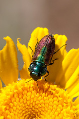 Jewel Beetle- Anthaxia fulgurans (f) (linanjohn) Tags: france macro nature wildlife insects provence beetles coleoptera buprestidae jewelbeetle anthaxia
