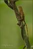 Jungle beast (Sphotos Photography) Tags: tree animal wildlife lizard jungle borneo gecko specanimal sphotos