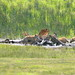Spotted Hyena at Elephant carcass in Ngorongoro Crater in Tanzania-10 1-13-12